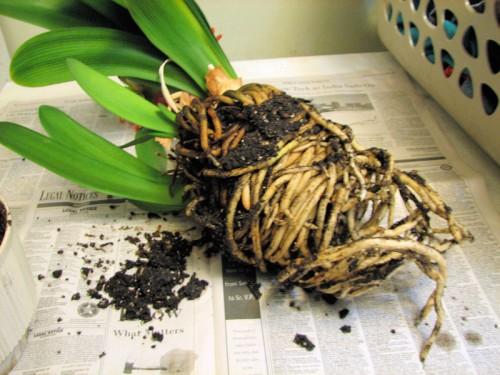Кливия представляет собой некую границу между луковичными и корневыми растениями.